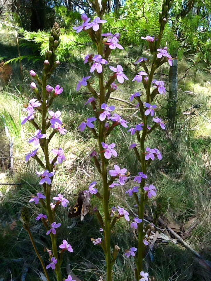 Common Triggerplant (Stylidium armeria subsp. armeria) A native to south-eastern Australia this photograph was taken at Mt Macedon in Victoria.