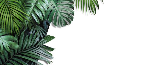 Tropical Leaves Banner On White Tropical Leaves Tropical Background White Background Official art shouldn't be grouped under similar images. tropical leaves banner on white