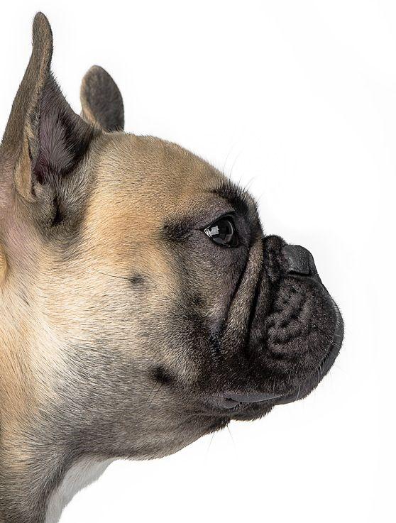 Fransk bulldog ,  Ossie