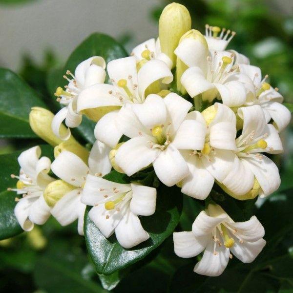 Cara menanam dan merawat bunga kemuning
