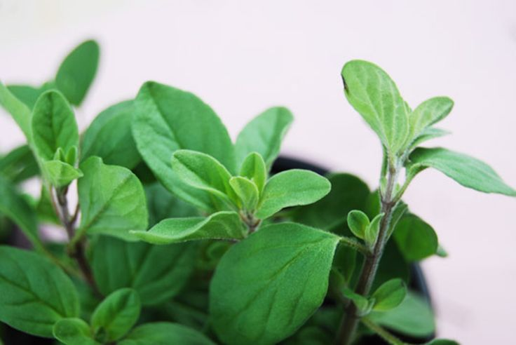 Inside the Spice Cabinet: Marjoram — Spice Intelligence