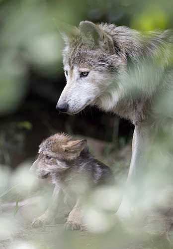 34 best Wolves and Wolf Cubs images