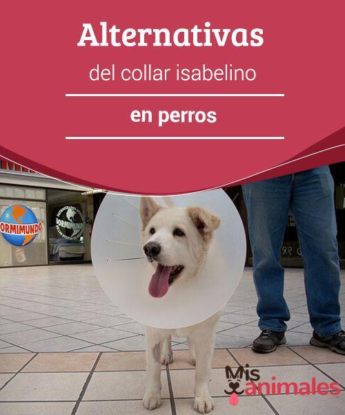 """Alternativas del collar #isabelino en #perros  También conocido como """"cono de la vergüenza"""", es un #elemento que se coloca en el cuello del perro para evitar que se muerda, lama o lastime cierta zona. Se usa sobre todo después de una operación o #tratamiento veterinario."""