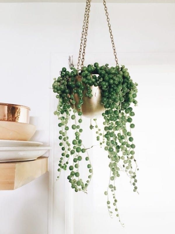 The Elegant String Of Pearls Plant Is Part Of The Succulent Fam So Be Weary