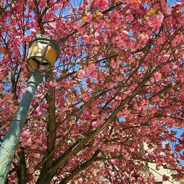 🇫🇷 Cherry blossoms in Paris 🌺🌸🌺🌸🌺🌸🌺🌸 #lovethisseason #april #paris #visitparis #instaparis #instafrance #spring #throwback #visitfrance #afternoonstroll #beautiful #picturesque #superb #magnifique #spectacular #instagood #instatravel #instaholiday #instamoment #vacation #travel #explore #live #love #melbournelifelovetravel #loveit #thatview #takemeback #cherryblossoms #notredame