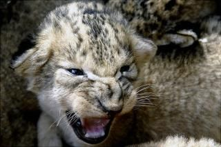 Not all newborns are friendly faces... a new-born lion cub bears its teeth to the public for the first time at the local zoo in Stavropol, Russia.