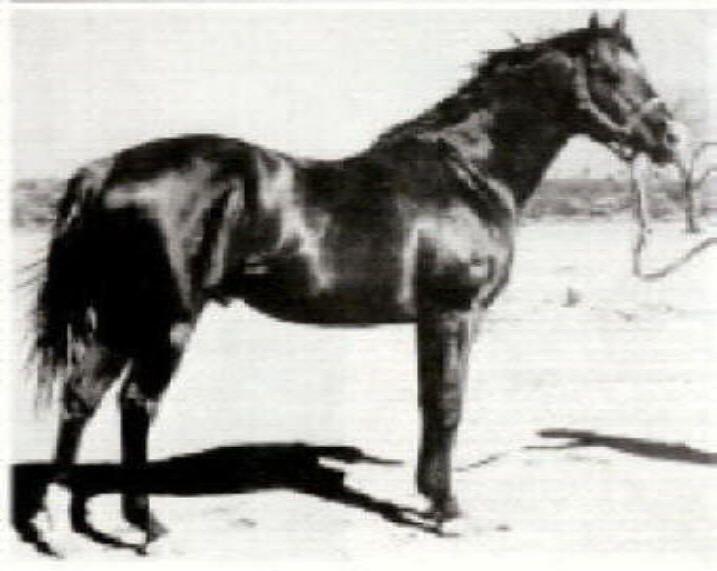 Australian Quarter Horse Association