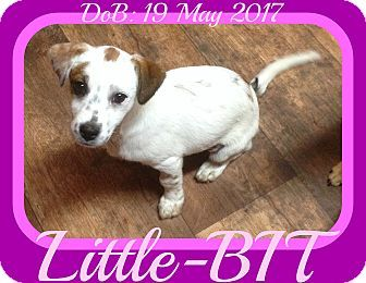 White River Junction, VT - Brittany/Dachshund Mix. Meet Little-BIT, a puppy for adoption. http://www.adoptapet.com/pet/18747169-white-river-junction-vermont-brittany-mix