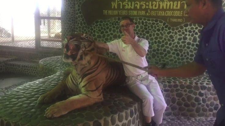 Obligan a un tigre encadenado a rugir a base de palos para hacer fotos más espectaculares junto a los turistas #tigre #tigres #tailandia #maltratoanimal #maltrato #animales #animal #noticia #noticias #schnauzi