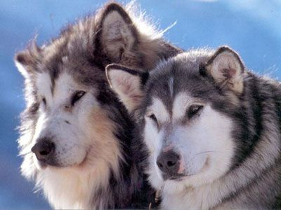 Alaskan Malamute-reminds me if Coca-Cola my grandmothers Mal!  In Florida....she could dig a hole:-)