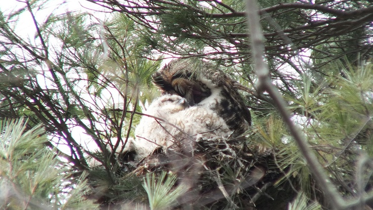 Great Horned Owl mom preens herself beside chick - Thicksons Woods - Whitby - Ontario