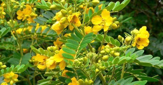 السنامكي وفوائده يعرف السنا على مستوى العالم باسم سنامكي لأن موطنه الأصلي مكة المكرمة ويعرف محليا باسم سنا وخاصة Plants Herbal Medicine Herbalism