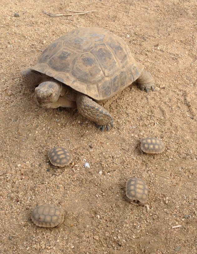 17 Best images about desert tortoise on Pinterest ...