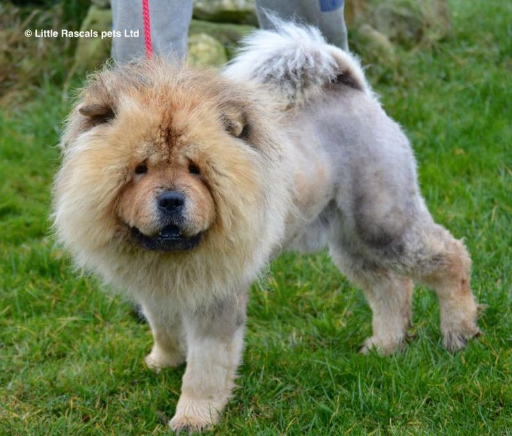 Samou our Chow Chow - Pedigree Puppies For Sale