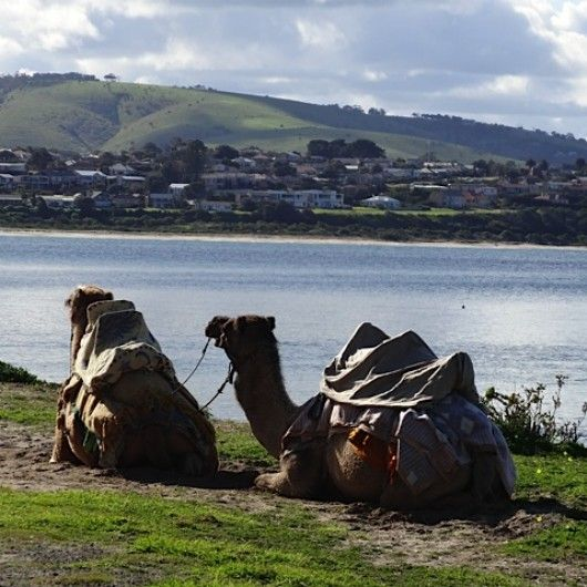 Camel Rides at Victor Harbour. #FleurieuPeninsula #camels #victorharbor #australia #southaustralia #adelaide