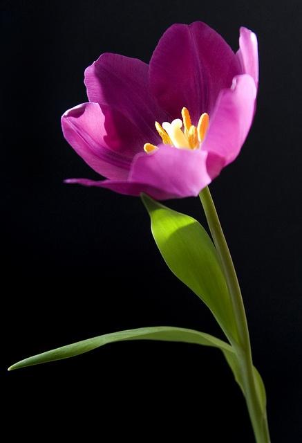 ~~Purple Tulip 1 by Theresa Elvin~~ https://www.facebook.com/ChloesCreationsFlorist?ref=hl
