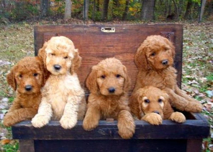 F2 Goldendoodle Puppies at 7 weeks old