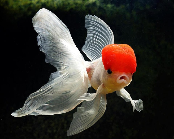 Bubble head goldfish under the sea pinterest for What fish can live with goldfish in a pond