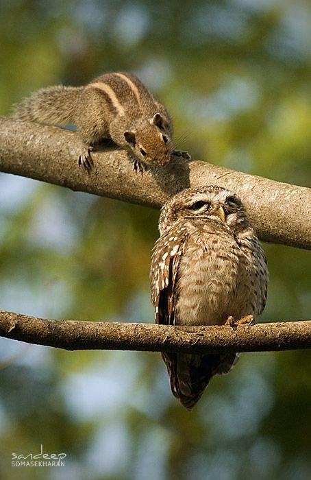 совместное фото совы и белки коричневого цвета может