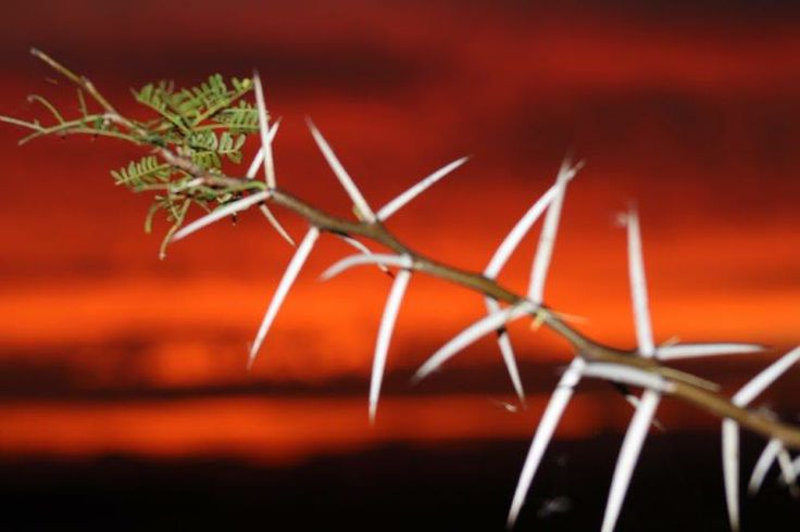 Die son sak agter die Soetdoringboom by Shadowlands - photo : Elmar J Roetz