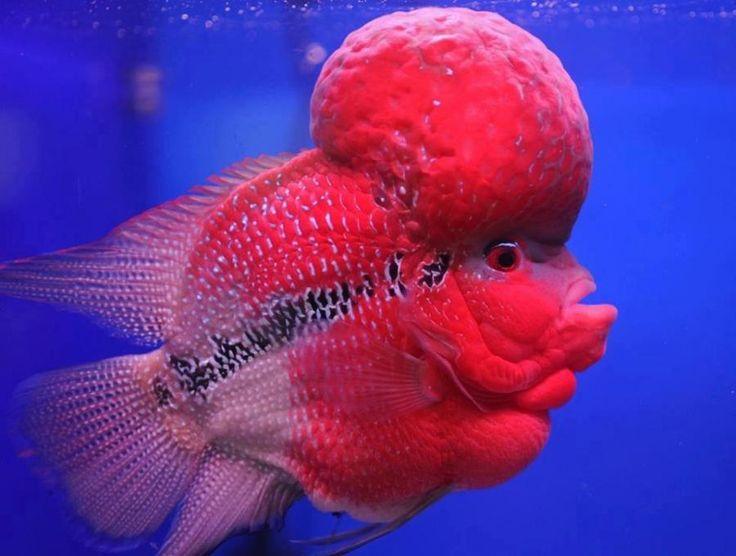 flowerhorn fish desktop
