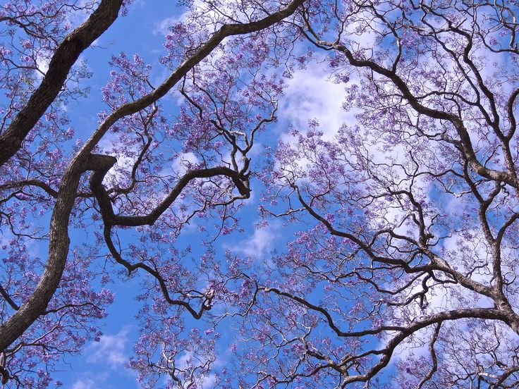 The Jacaranda's are out | Allotment Adventures with Jean