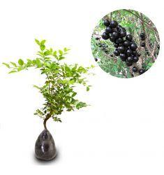 Anggur Brazil 30cm Rp 95,000