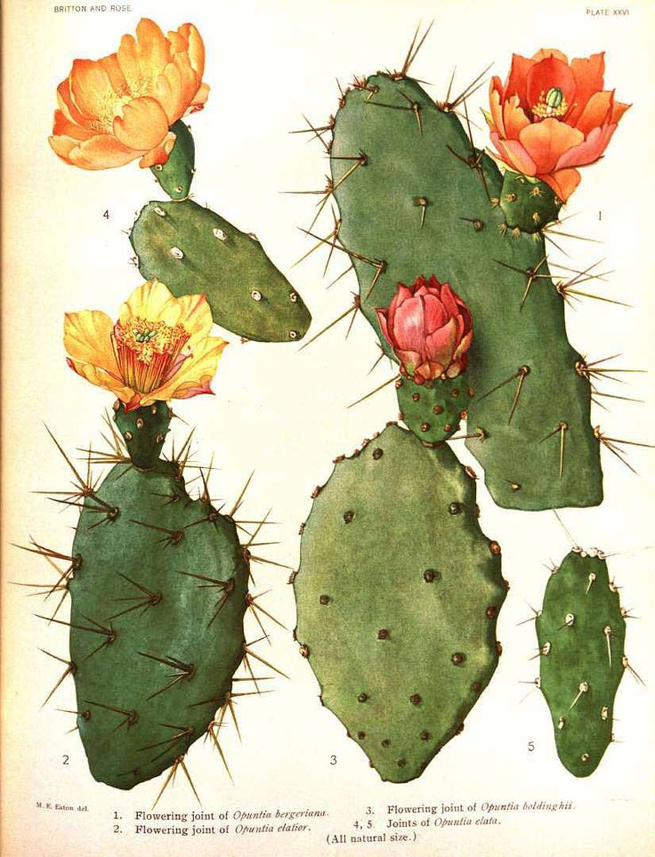 Chollla | Invite Art | Pinterest | Flora, Cactos e Natureza