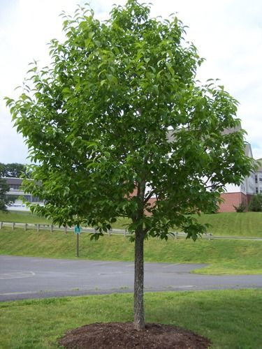 Hardy rubber tree just a good shade tree stays green for Small hardy trees