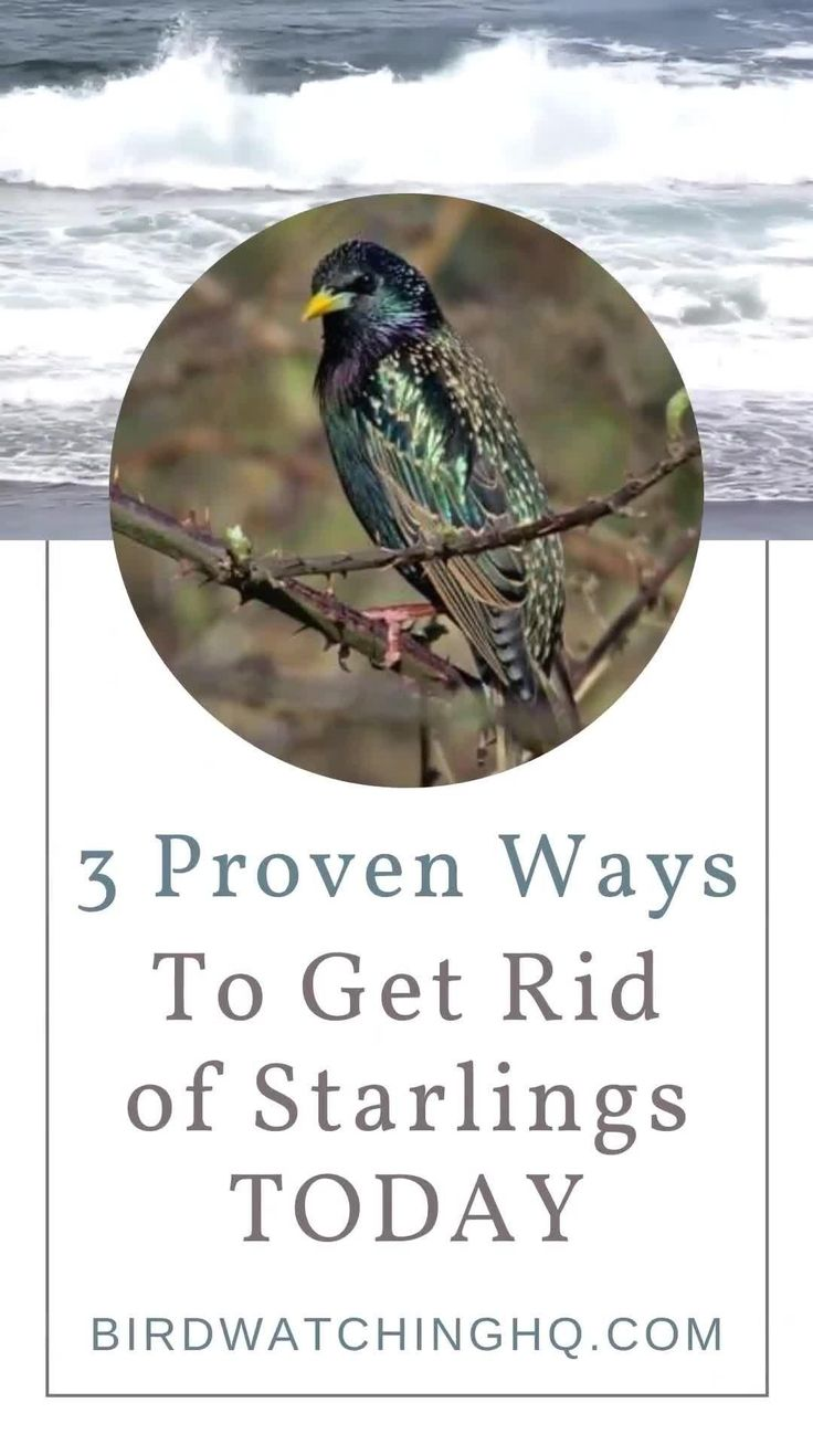 how to get rid of starlings at bird feeder