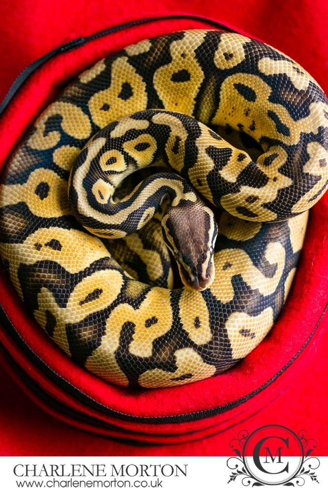Pet snake photography