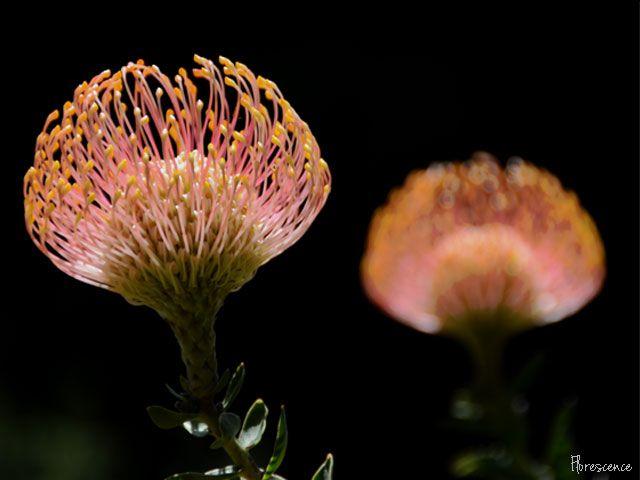 Leucospermum cordifolum (Pincushion), (c) Florescence