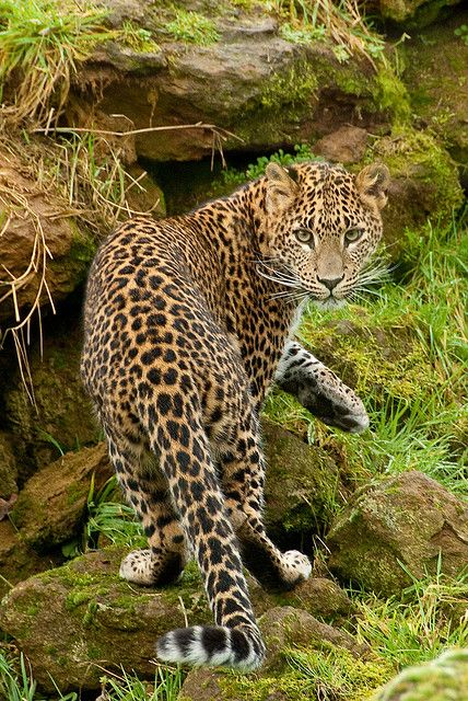 Amur leopard , endangered species. Conservation of its habitat benefits other…