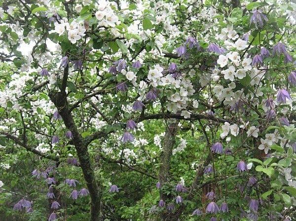 Alppikärhö omenapuussa