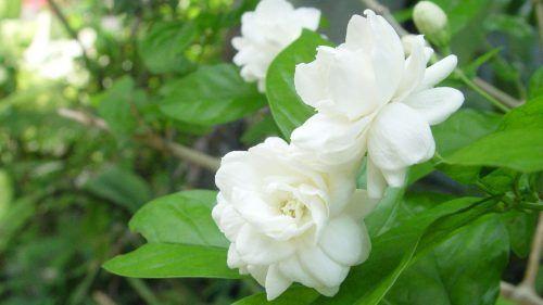 White Gardenia Flower flowers that look like roses