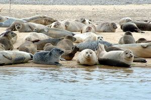 Seal Trips from Blakeney Point with Beans Boats.