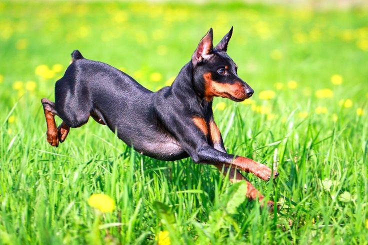 цвергпинчер собака фото цвергпинчер