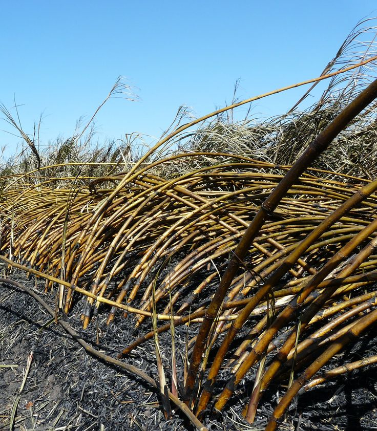 Burnt sugar cane ready for harvesting. Variety Q208. Burdekin, North Queensland. #Alivewithcuriosity #ThisisQueensland