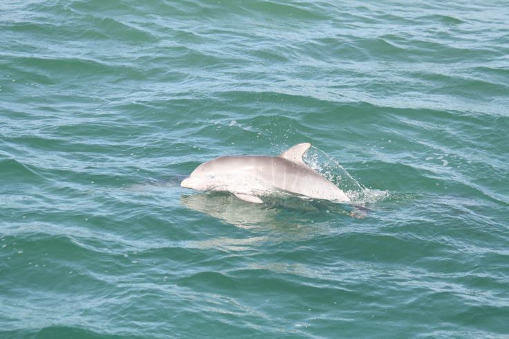 A great photo of a new born Mandurah baby dolphin only a few days old showing  it's pale colour and foetal stripes from being folded up in its mother's womb.