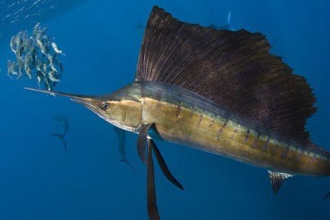 Atlantik ve Pasifik Okyanuslarında yaşayan ve hızı saate 109 kilometreye kadar çıkabilen dünyanın en hızlı yüzen balığı hangisidir?    http://cevaplar.mynet.com/soru-cevap/atlantik-ve-pasifik-okyanuslarinda-yasayan-ve-hizi-saate-109-kilometreye-kadar-cikabilen-dunyanin-en-hizli-yuzen-baligi-hangisidir-/6178506
