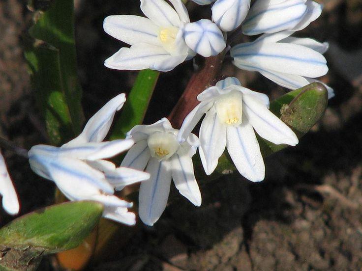 Csillagos Puskin-virág