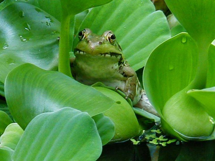 Peek a boo! Ponds Inc. loves frogs!