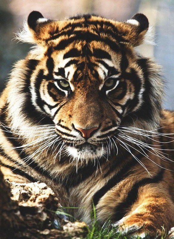 Tigre                                                                                                                                                     Plus