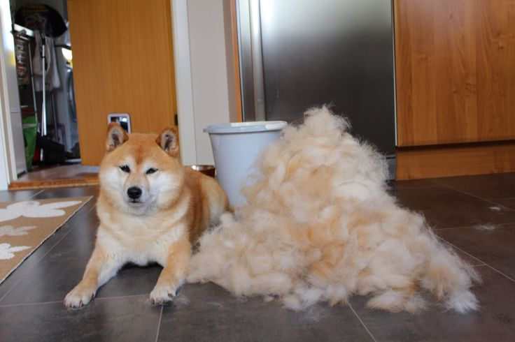 A shiba inu usually sheds it's undercoat twice during one year and (although not all do this. When they do... You'll end up with a pile of super soft shiba fur all over your house!