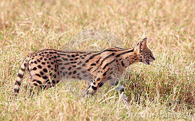 Serval africano (serval de Leptailurus)