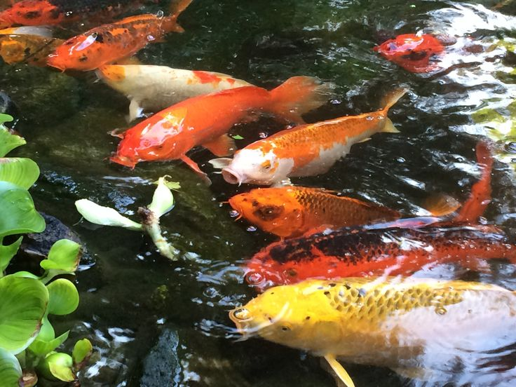 1000 images about koi on pinterest japanese koi fish for Koi fish farm