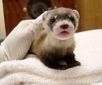 Baby black-footed ferret (endangered species)