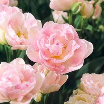 'Angelique' Tulip: Angeliqu Tulip, Flowers Tulip, Pink Flowers, Pink And White Gardens Flowers, Double Flowers, Double Tulip, Bears Double, Spring Bloom, Pink Tulip
