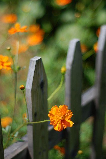 orange Nature Wood, Gardens Fence, Orange Flower, Gardens Design Ideas, Cosmo, Picket Fence, Country Fence, Side Yards, Yellow Flower