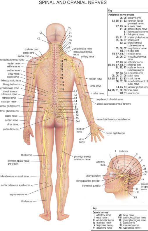 Human Spine Diagram Lower - DIY Enthusiasts Wiring Diagrams •